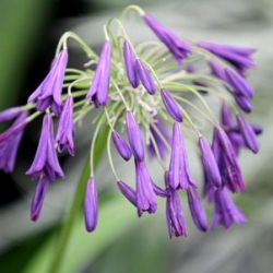 Agapanthus 'Midnight Dream' ®