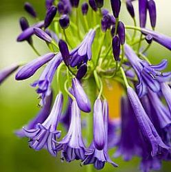 Agapanthus 'Purple Cloud' ('Storm Cloud')