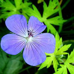 Geranium 'Blue Sunrise' ® ('Blogold')