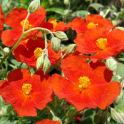 Helianthemum 'Fire Dragon'
