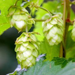 Humulus lupulus 'Nordbrau' ('Northern Brewer')