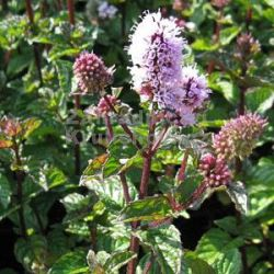 Mentha 'Berries and Cream'