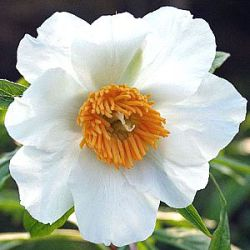 Paeonia emodi ('Early Windflower')