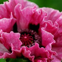 Papaver orientale 'Manhattan'