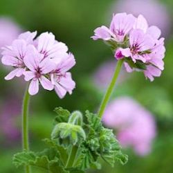 Pelargonium capitatum 'Attar of Roses'
