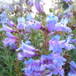 Penstemon 'Catherine de la Mare'
