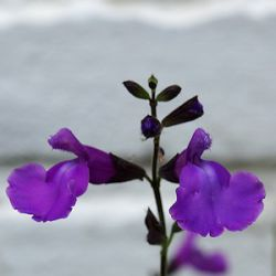Salvia 'Lilac Dream'