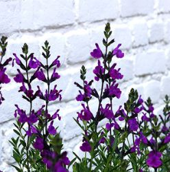 Salvia 'Purple Ginny' (extra grote pot)