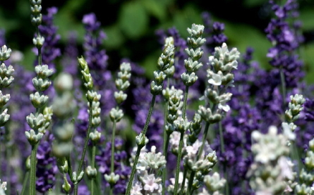 verzorging lavendel in pot