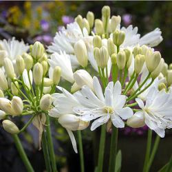 Agapanthus 'Double Diamond'