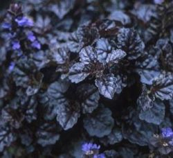Ajuga 'Black Scallop' ®