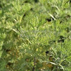 Ongebruikt winterharde of half-winterharde vaste planten uit Mediterrane YD-35