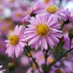 Aster novi-belgii 'Strawberry & Cream'