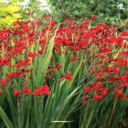 Crocosmia x crocosmiiflora 'Dragonfire'