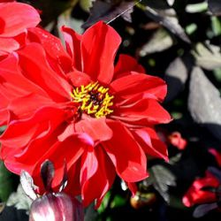 Dahlia 'Dreamy Lips' ®