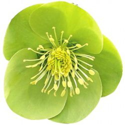 Helleborus hybridus 'Illumi Lime' (Rodney Davey Marbled Group)