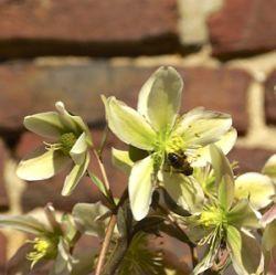 Helleborus Niger Helleborus Orientalis En Hybride Cultivars Op Dit