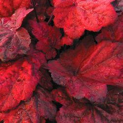 Heuchera 'Autumn Leaves' ®