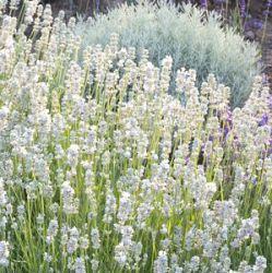 Lavendel In Grote Pot.De Actuele Voorraad Lavandula Angustifolia Chaytorae Christiania