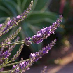 Lavendel In Grote Pot.Winterharde Of Half Winterharde Vaste Planten Uit Mediterrane