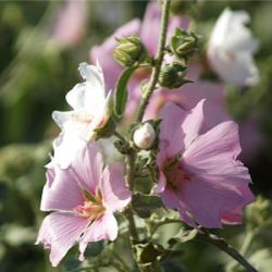 Lavatera x clementii 'Silver Barnsley'