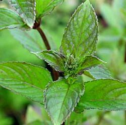 Mentha x piperita 'Black Spearmint'
