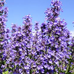 Nepeta 'Cat's Pajamas'  ®