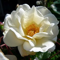 Rosa 'Moonlight' ® (Pemberton)