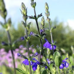 Salvia greggii 'Blue Note' ®