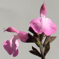 Salvia 'Pink Dream'