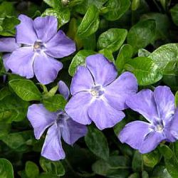 Vinca minor 'Bowles Cunningham'